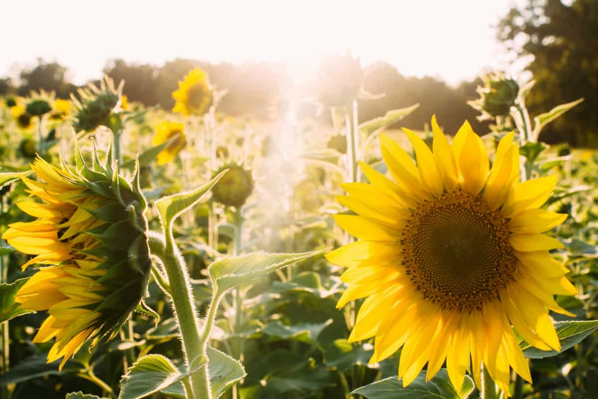 happiness contentment contentment in Christ sunflowers